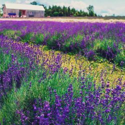 Beautiful Lavender Plants and lavender fields at one of Ontario's many Lavender Festival