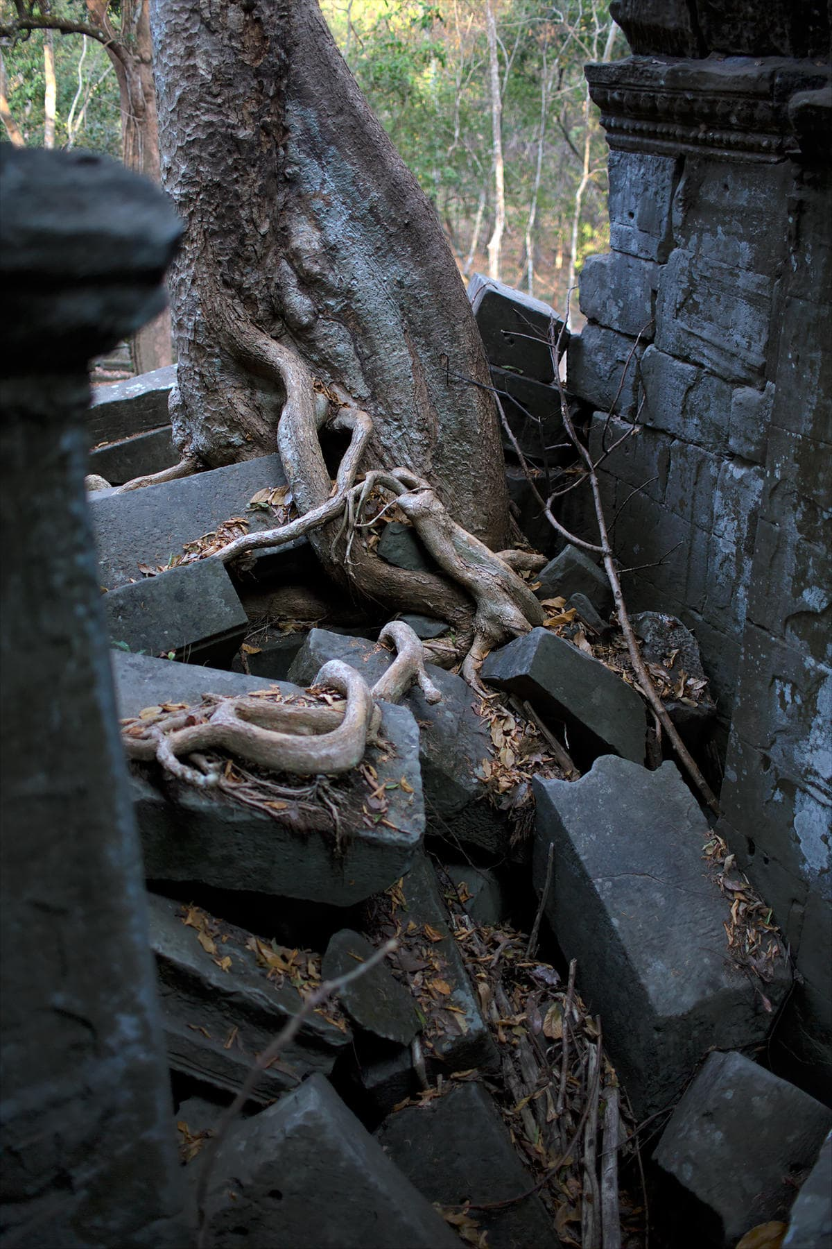 Beng Mealea tree roots growing on temple ruins