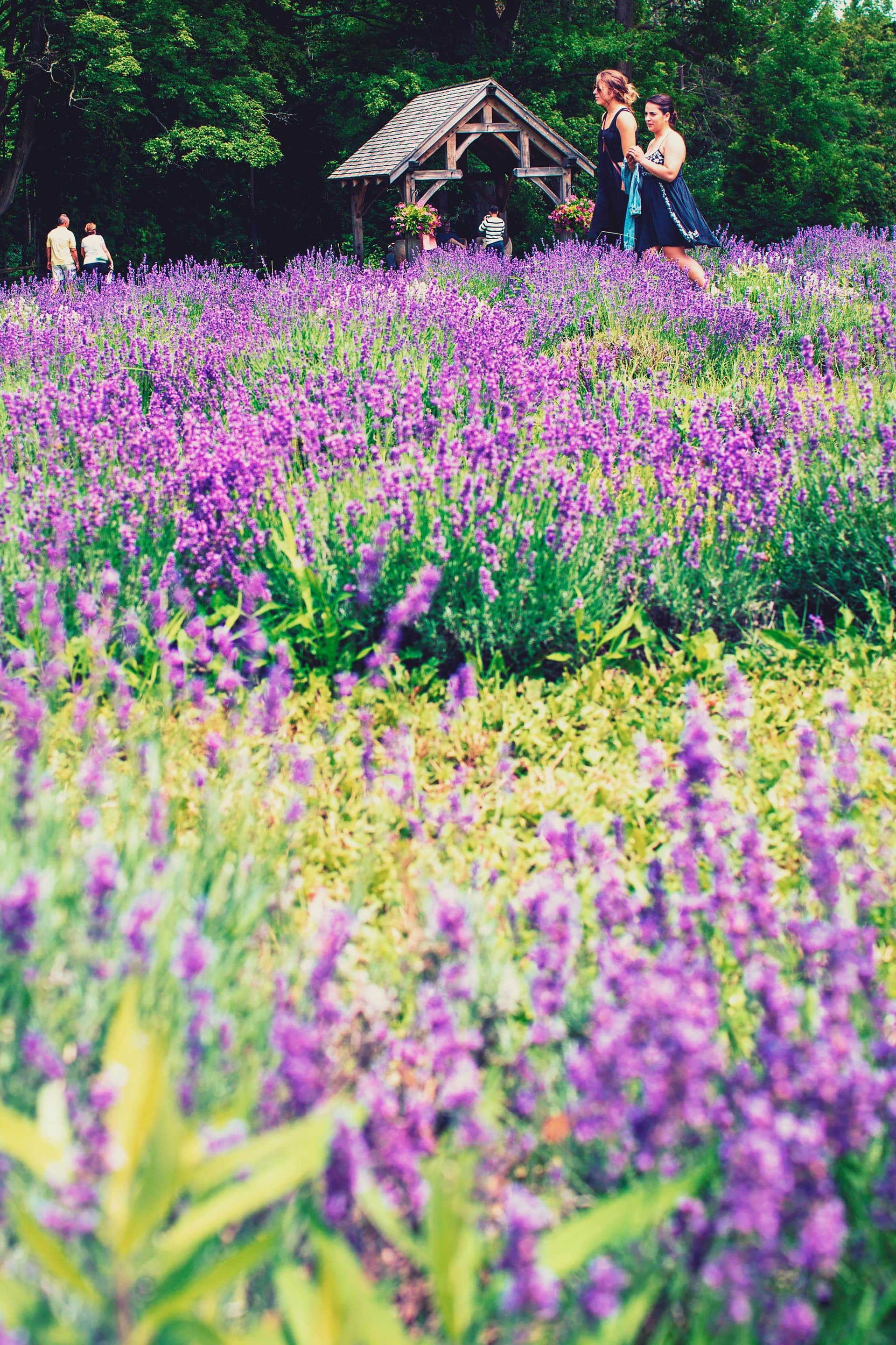 Fields of lavender flowers at Terre Bleu Lavender farm in Milton