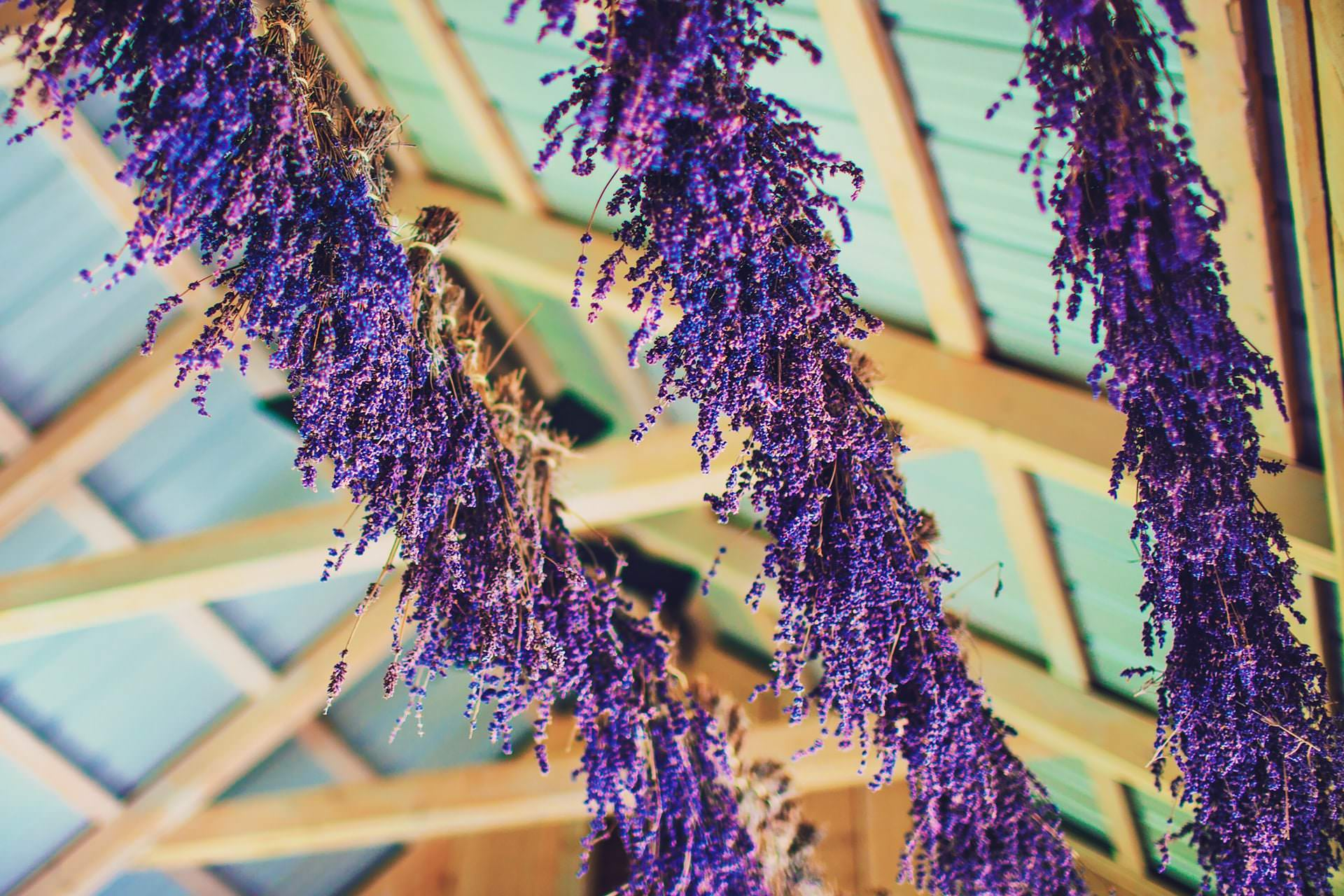 Fresh lavender flowers hung from the ceiling at Terre Blue Lavender Farm