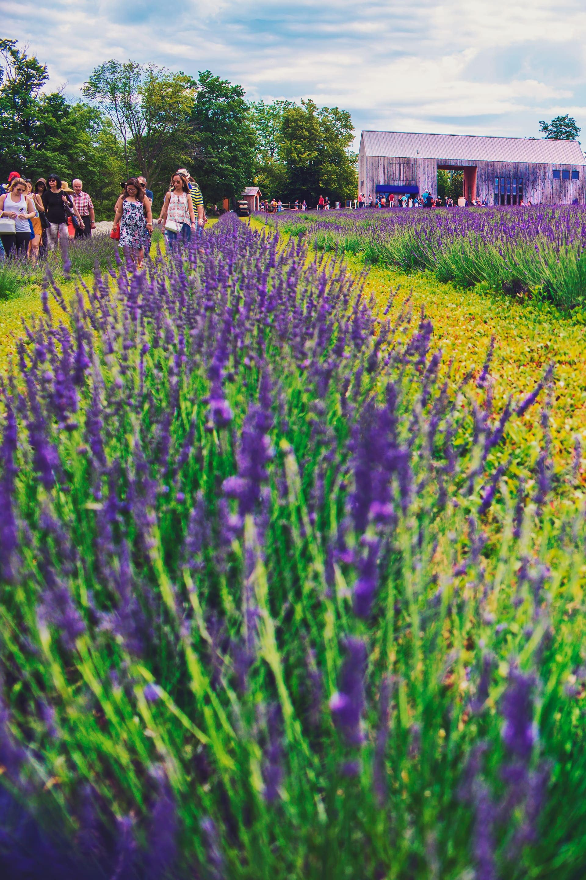 Guided tour of Terre Bleu Lavender Farm in Milton Ontario