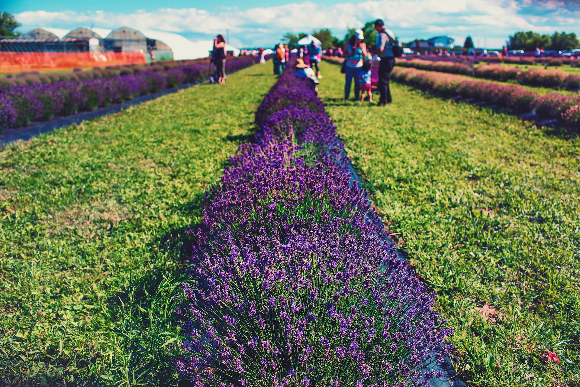 Lavender field at neob lavender in Niagara Fall