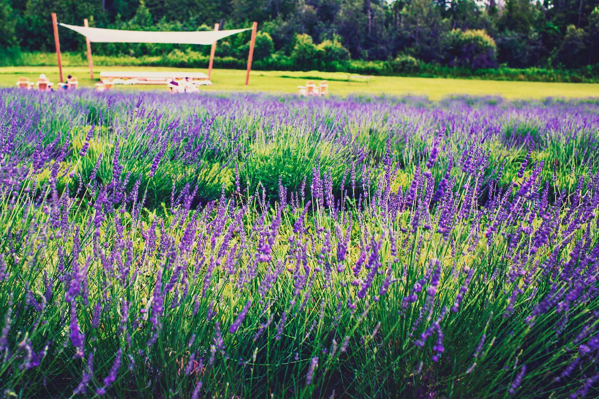 Rest area in front of fields of lavenders at Terre Bleu Lavender Farm