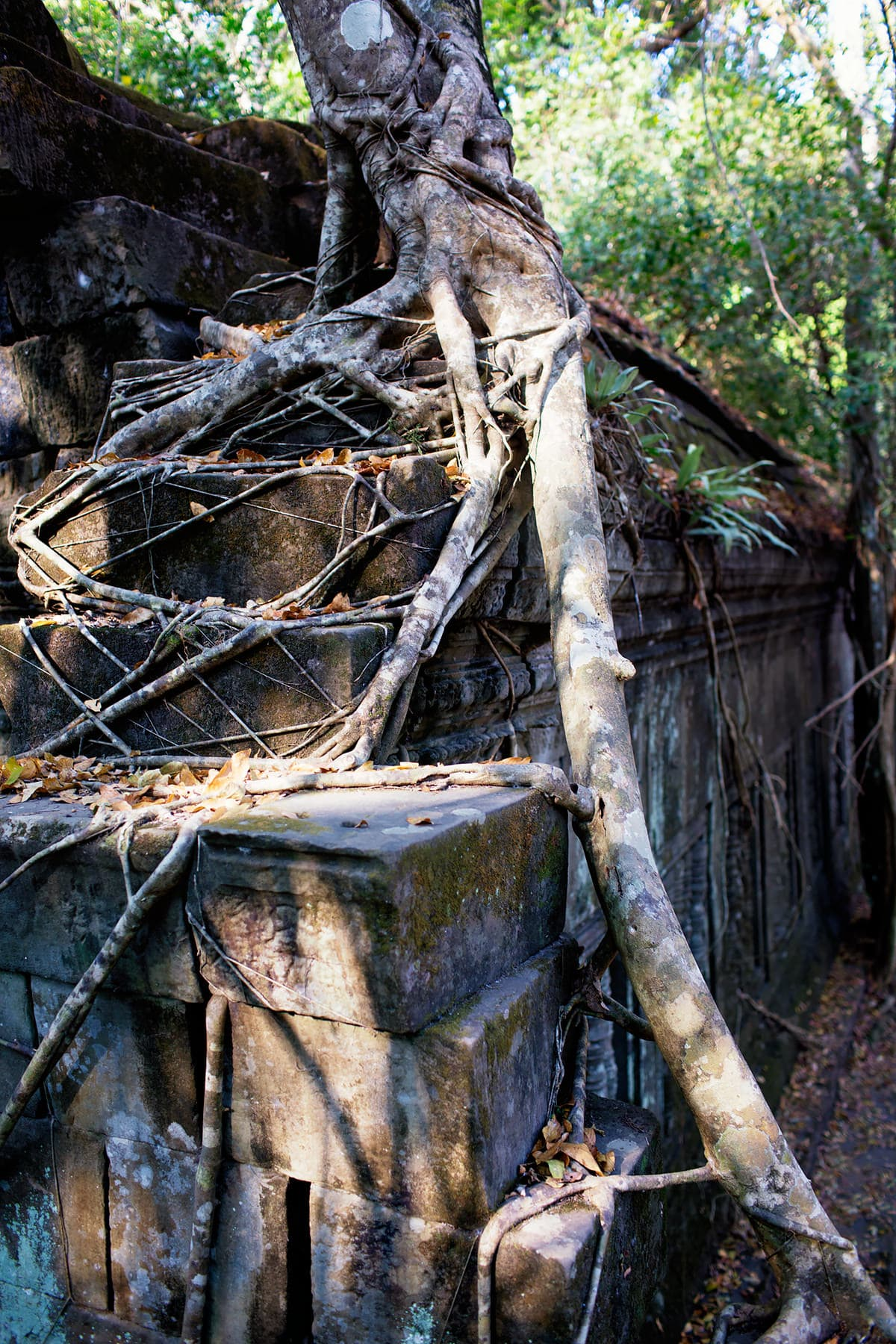 tree growing roots on ruin at Beng Mealea Angkor
