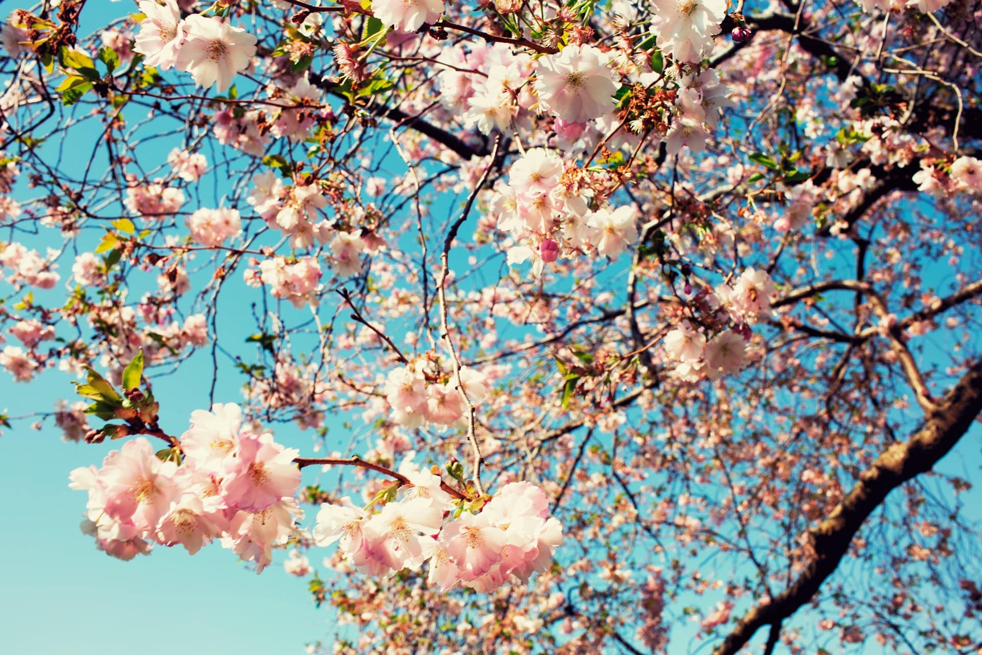 Cherry Blossom Quotes